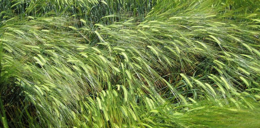 Применение регуляторов роста повышает урожайность и качество продукции, увеличивает сопротивляемость растений к стрессовым факторам среды