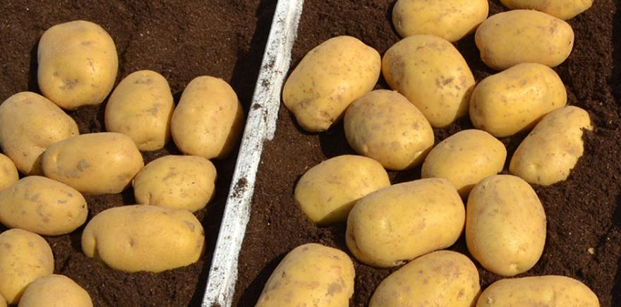 Конференция «Генетические и агротехнологические ресурсы повышения качества картофеля»