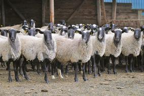 Племенное овцеводство в Тульской области
