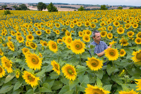 Выращивание подсолнечника - Мульча и урожай