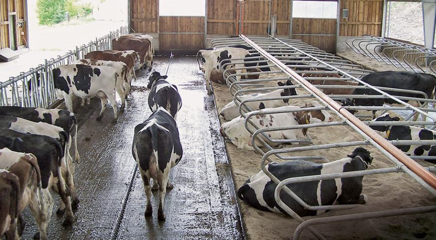 В коня ли корм? - Кормление крупного рогатого скота