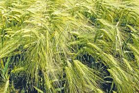 Возделывание зерновых культур