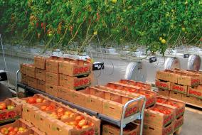 Высокая урожайность овощей и низкие затраты энергии таков современный тепличный комплекс «ЛипецкАгро».