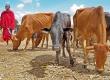Сельскохозяйственные животные в Танзании отличаются излишней стройностью. Скудный запас кормов в стране не дает коровам «располнеть».