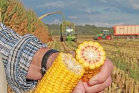 Имея в своем распоряжении большое количество початков, вы можете определить степень спелости и наилучшие сроки уборки кукурузы прямо в поле при помощи так называемой «ногтевой» пробы. Для этого следует разломить початок посередине, выбрать уже затвердевшие по внешнему краю зерна и нажать ногтем большого пальца на место прикрепления зерна к стержню. Если останется вмятина, содержание сухой массы в зерне составляет примерно 60 %, а процесс накапливания крахмала завершен. @ Фото: agrarfoto (2), Eder, agrarpress