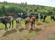 Ферма Филомайны Кемиджумбы Ншагано занимает 80 га сельхозугодий. Поголовье КРС – 125 голов, в том числе 30 дойных коров. @ Фото: Fleege