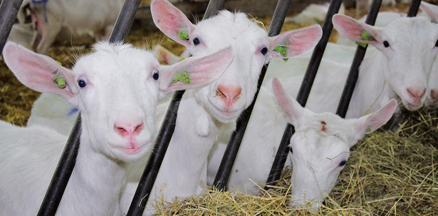 Качественные грубые корма составляют основу рациона молочных коз. Сенаж для коз должен быть высшего качества и содержать не менее 40% СВ. @ Фото: М. Политова