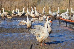 Гуси неплохо переносят даже самые лютые морозы. В «Экогаранте» более 12 тысяч голов этой птицы. @ Фото: Е. Юрко