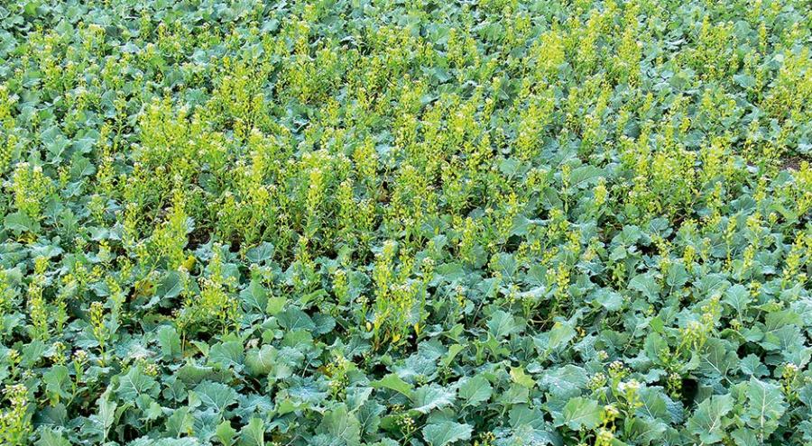 Система Clearfield в борьбе с крестоцветным засорением и особенно с трудноискореняемыми видами сорняков семейства крестоцветных.