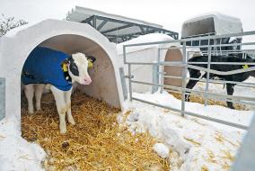 Хорошо развитые телята и в зимний период чувствуют себя в домике-иглу комфортно. Попонки можно рекомендовать только для больных животных. @ Фото B. Berg