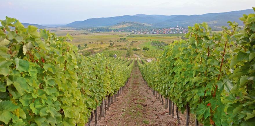 В Токайском регионе разрешено выращивать только шесть сортов белого винограда. С одной лозы на виноградниках Bereś снимают около двух килограммов ягод. @ Фото: Е. Юрко