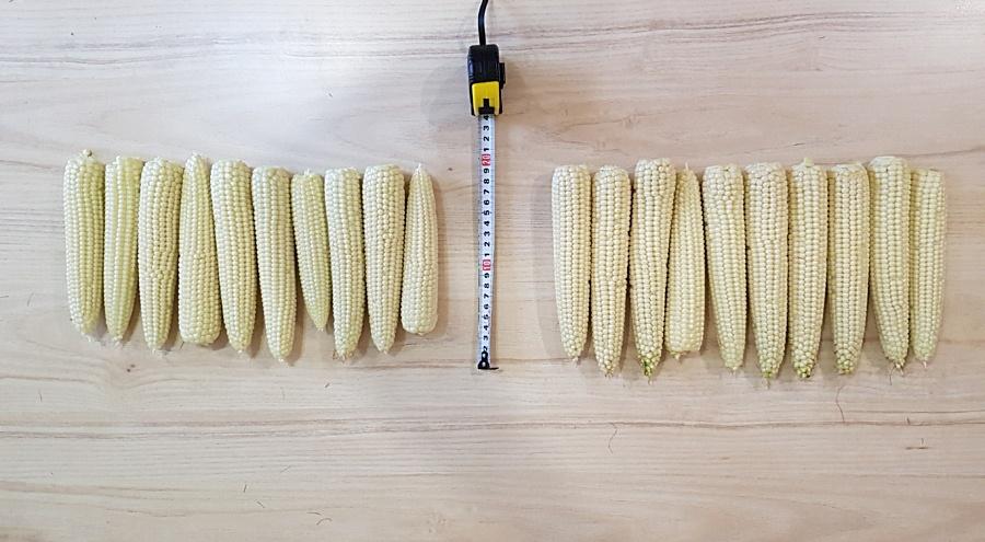 Фото: Початки кукурузы (APALIQUA 11:37 – справа, контроль – слева)